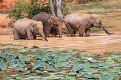 Ungt bada för asiatiska elefanter Arkivfoton