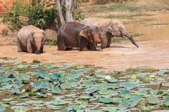 Ungt bada för asiatiska elefanter Arkivfoto