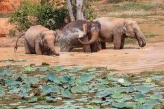 Ungt bada för asiatiska elefanter Royaltyfri Bild