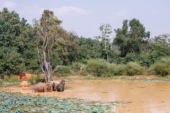 Ungt bada för asiatiska elefanter Fotografering för Bildbyråer