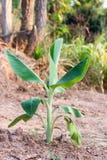 Ungt bananträd Fotografering för Bildbyråer