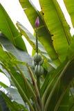 Ungt bananträd med bananer Arkivbilder