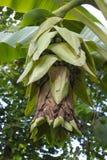 Ungt bananträd med bananer Arkivfoto