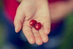 Ungt barn som rymmer två mogna röda jordgubbar Fotografering för Bildbyråer