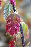 Ungt blad för röd färg av Kalifornien den svarta eken Fotografering för Bildbyråer