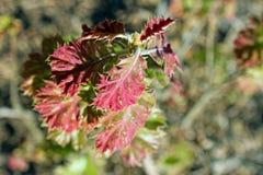 Ungt blad för röd färg av Kalifornien den svarta eken Royaltyfri Bild