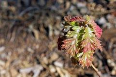 Ungt blad för röd färg av Kalifornien den svarta eken Royaltyfri Fotografi