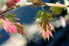 Ungt blad för röd färg av Kalifornien den svarta eken Royaltyfria Bilder