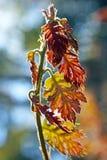 Ungt blad för röd färg av Kalifornien den svarta eken Arkivfoto