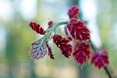Ungt blad för röd färg av Kalifornien den svarta eken Arkivfoton