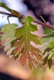 Ungt blad för röd och grön färg av Kalifornien den svarta eken Royaltyfri Fotografi