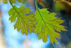 Ungt blad för röd och grön färg av Kalifornien den svarta eken Royaltyfri Foto