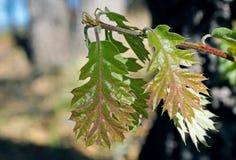 Ungt blad för röd och grön färg av Kalifornien den svarta eken Royaltyfri Bild
