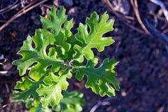 Ungt blad för röd och grön färg av Kalifornien den svarta eken Arkivbilder