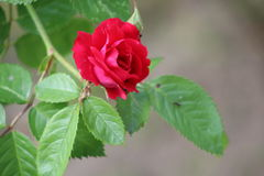 Ungt blomma steg i trädgården Royaltyfri Fotografi