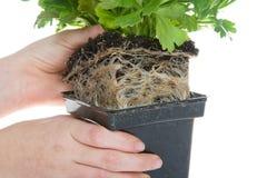 Ungt dra för händer rotar den destinerade växten från behållaren som isoleras på vit Arkivbild