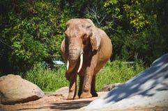 Ungt elefantanseende Royaltyfri Foto