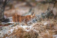 Ungt eurasian lura för lodjur som är tyst i skogen på den tidiga vintern arkivfoto