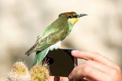Ungt europeiskt sammanträde för bi-ätare Meropsapiaster på telefonen i händerna av en man arkivfoto