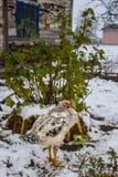 Ungt fågelungeanseende i snön på en bakgrund av vinbärbusken Bakgrund Fotografering för Bildbyråer