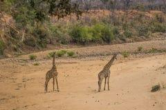 Ungt Giraffaanseende för giraff två i torr sandig flodbädd royaltyfria foton