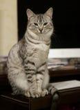 Ungt grått kattsammanträde bak en datorskärm, en inhemsk katt i naturlig bakgrund, en allvarlig katt, en katt och en dator som är Arkivbilder