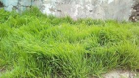 Ungt grönt gräs mot bakgrunden av en del av den gamla ljusa packade väggen royaltyfria bilder