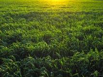 Ungt grönt vetefält i strålarna av solnedgången royaltyfria foton