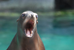 Ungt hav öppna Lion With His Mouth Wide Fotografering för Bildbyråer