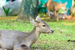 Ungt hjortsammanträde med gräsfältet Royaltyfri Foto