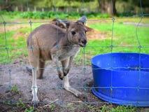 Ungt känguruunge se till och med ett staket Arkivfoto
