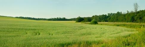 Ungt kornfält Royaltyfri Fotografi