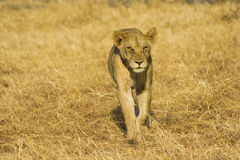 Ungt lejon Royaltyfri Fotografi