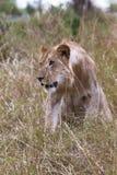 Ungt lejon i det tjocka gräset mara masai Royaltyfri Foto