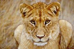 Ungt lejon som ser dig Arkivbilder