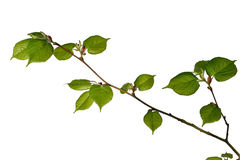 Ungt lindträd Arkivbild