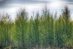 Ungt ljust - gräsplansidor blomstrade på träd Royaltyfri Bild