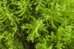 Ungt ljust - gröna barrträdvisare på ett filialslut upp på en suddig bakgrund av en buske arkivfoton