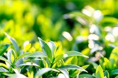 Ungt mörker för Closeup - grönt blad med solljus, barnsidor på Fotografering för Bildbyråer