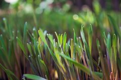 Ungt mörker - grön råg spirar med soliga daggdroppar på land Arkivfoton
