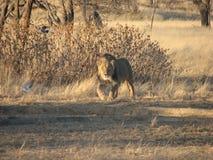 Ungt manligt Kalahari lejon Fotografering för Bildbyråer