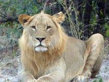 Ungt manligt lejon i den Chobe nationalparken, Botswana Arkivfoton