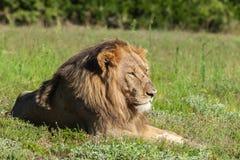 Ungt manligt lejon som ligger i gräset Royaltyfria Bilder