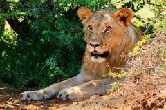 Ungt manligt lejon som ligger i skuggan Royaltyfria Bilder