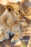 Ungt manligt lejon som vilar samman med stoltheten i Serengeti arkivfoto