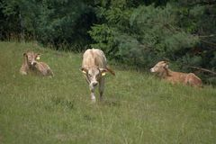 Ungt nötköttnötkreatur på ett gräs- betar Arkivfoton