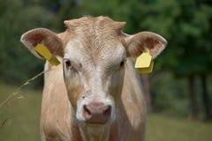 Ungt nötköttnötkreatur på ett gräs- betar detalj av en ko Arkivbild