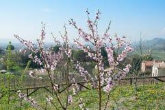 Ungt persikaträd i vår royaltyfria foton