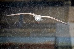Ungt seagullflyg i tungt snöfall arkivfoto