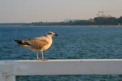 Ungt seagullsammanträde på en räcke Fotografering för Bildbyråer